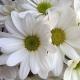 White.daisy